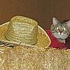 Topeka Cat Show 2014 Gunsmoke HHP cat in OK Corral031
